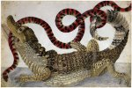 Maria Sibylla Merian (1647-1717), A Surinam caiman fighting a South American false coral snake
